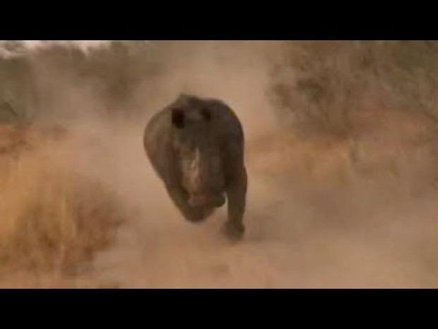 szafari rinocérosz orrszarvú üldözés