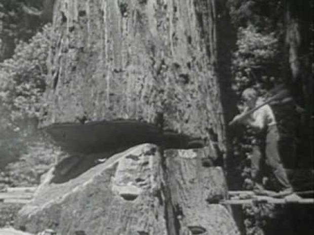 Kalifornia mamutfenyő favágók