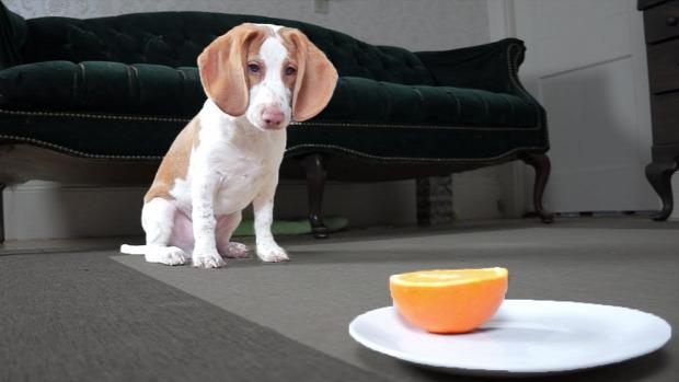 beagle kölyök narancs
