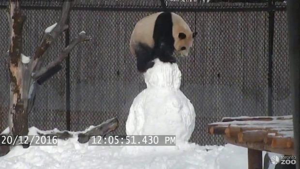 panda hóember