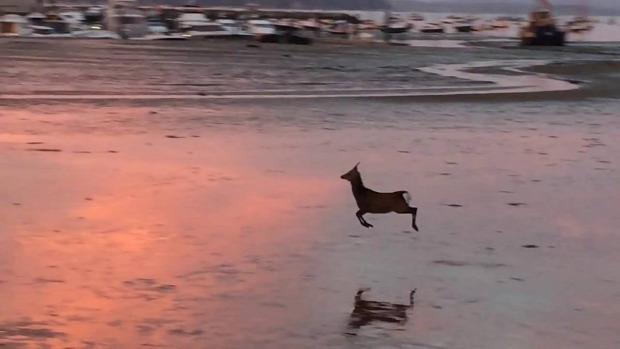 szarvas ugrál tengerpart