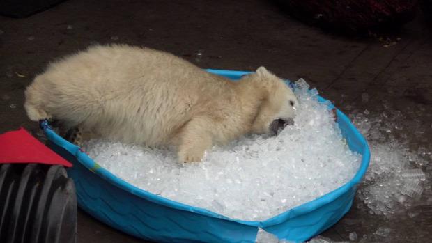 állatkert jegesmedve jég medence