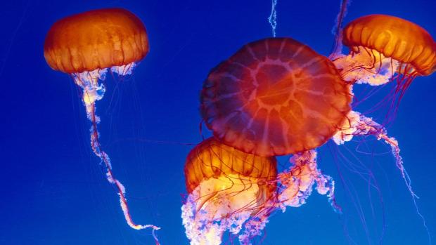 akvárium  tengeri medúza Monterey Bay