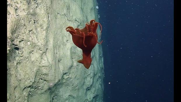 tenger mélység polip