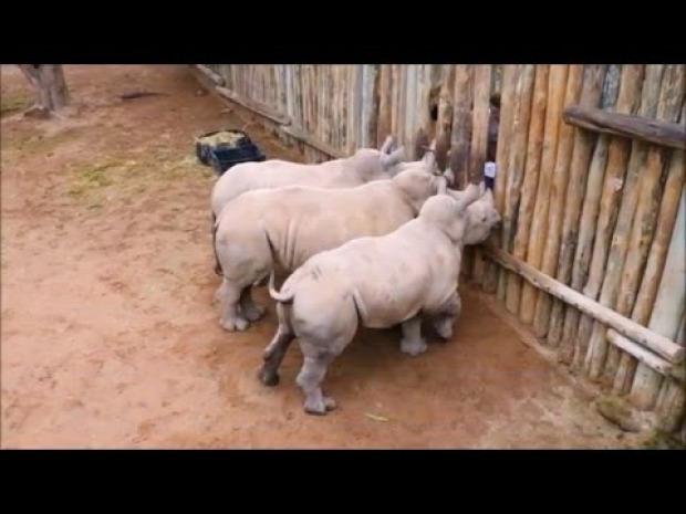 rinocérosz orrszavú bébi