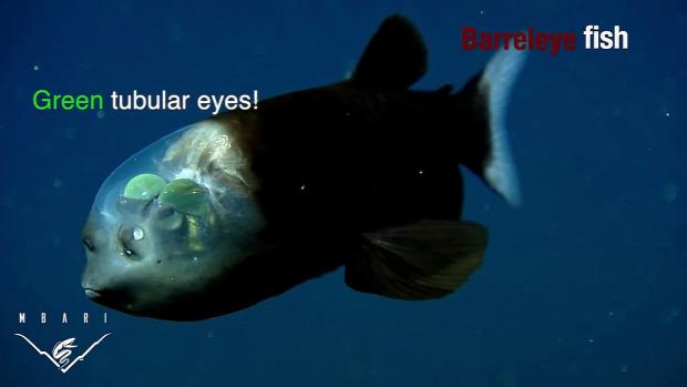 mélytenger állat szem furcsa