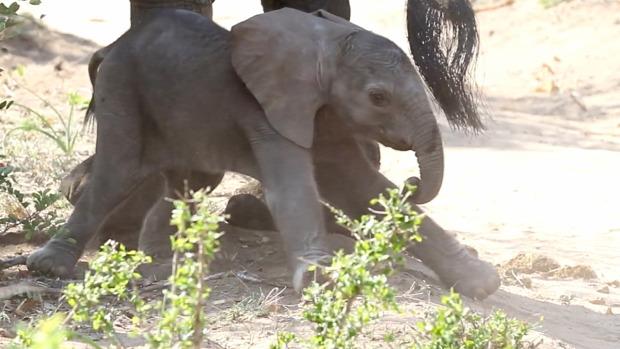 bébi  elefánt jár