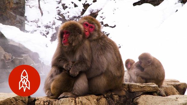 Japán majom fürdik meleg víz