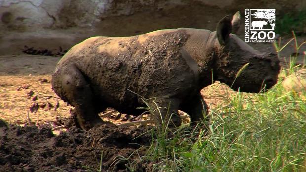 fekete orrszarvú rinocérosz bébi állatkert sár