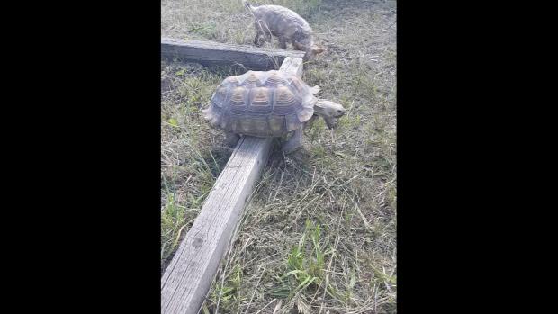 teknős gerenda