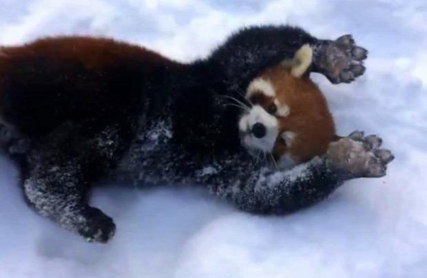 vöröspanda állatkert hó
