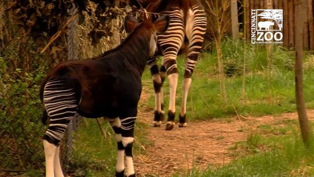 állatkert okapi első séta