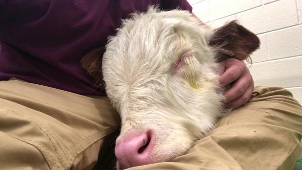 borjú tehén alszik öl