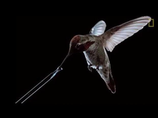 kolibri repül iszik
