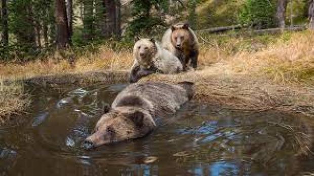 maci medve fürdő Yellowstone rejtett kamera