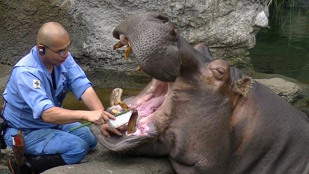 víziló állatkert fogmosás