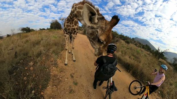 zsiráf kerékpár biciklis kiváncsi